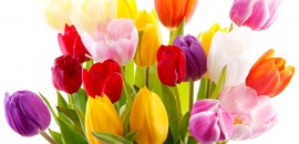 3. Tulpes