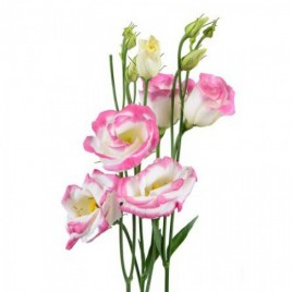 Balti-roza